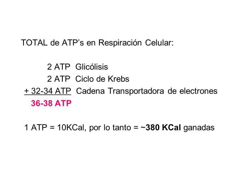 TOTAL de ATPs en Respiración Celular: 2 ATP Glicólisis 2 ATP Ciclo de Krebs + 32-34 ATP Cadena Transportadora de electrones 36-38 ATP 1 ATP = 10KCal,