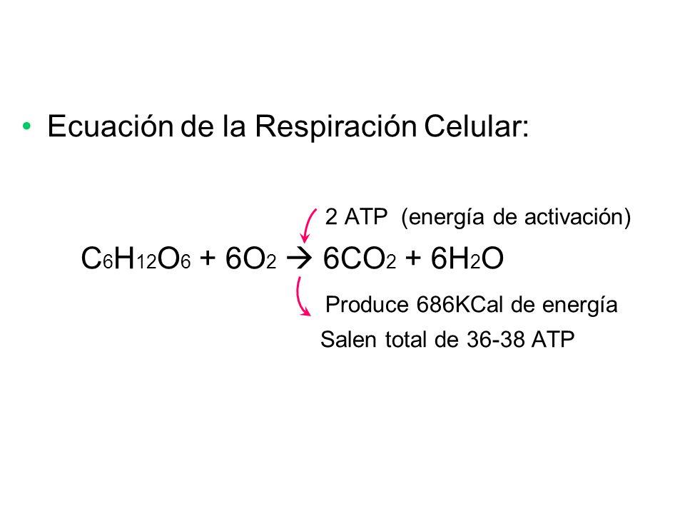 Ecuación de la Respiración Celular: 2 ATP (energía de activación) C 6 H 12 O 6 + 6O 2 6CO 2 + 6H 2 O Produce 686KCal de energía Salen total de 36-38 A