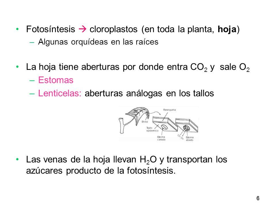 6 Fotosíntesis cloroplastos (en toda la planta, hoja) –Algunas orquídeas en las raíces La hoja tiene aberturas por donde entra CO 2 y sale O 2 –Estoma
