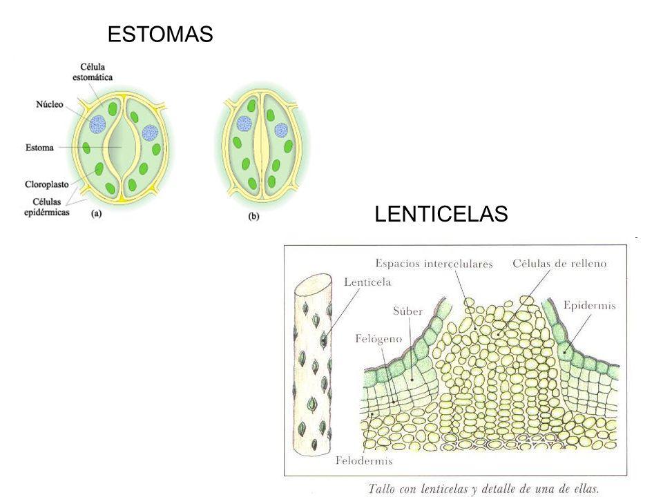 LENTICELAS ESTOMAS