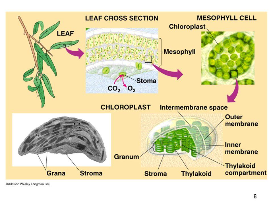 9 En procariotas no hay cloroplastos, la clorofila se encuentra en la membrana celular.