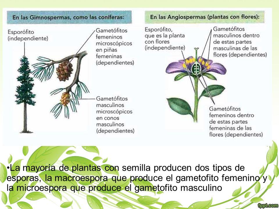 La mayoría de plantas con semilla producen dos tipos de esporas, la macroespora que produce el gametofito femenino y la microespora que produce el gam