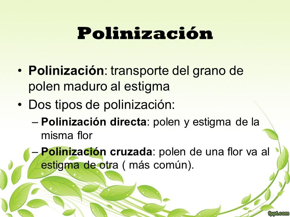 Polinización Polinización: transporte del grano de polen maduro al estigma Dos tipos de polinización: –Polinización directa: polen y estigma de la mis