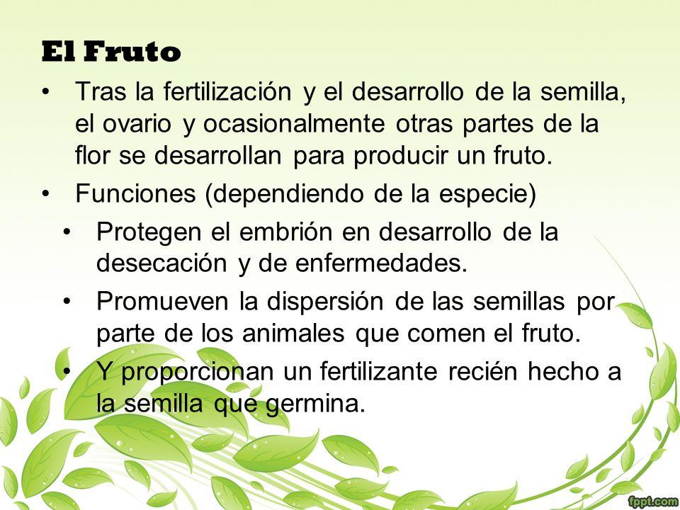 El Fruto Tras la fertilización y el desarrollo de la semilla, el ovario y ocasionalmente otras partes de la flor se desarrollan para producir un fruto