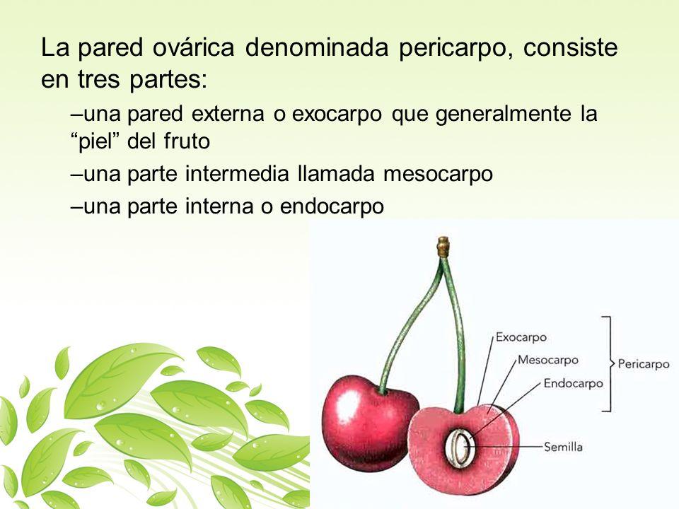 La pared ovárica denominada pericarpo, consiste en tres partes: –una pared externa o exocarpo que generalmente la piel del fruto –una parte intermedia