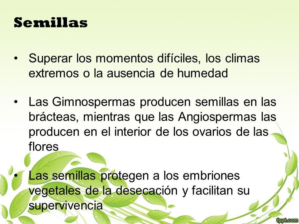 Semillas Superar los momentos difíciles, los climas extremos o la ausencia de humedad Las Gimnospermas producen semillas en las brácteas, mientras que