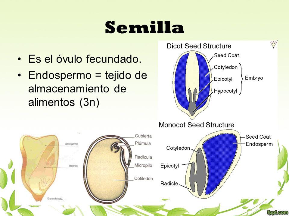 Es el óvulo fecundado. Endospermo = tejido de almacenamiento de alimentos (3n) Semilla