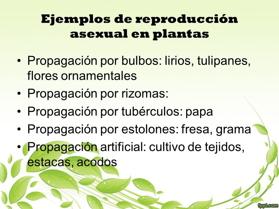 Ejemplos de reproducción asexual en plantas Propagación por bulbos: lirios, tulipanes, flores ornamentales Propagación por rizomas: Propagación por tu