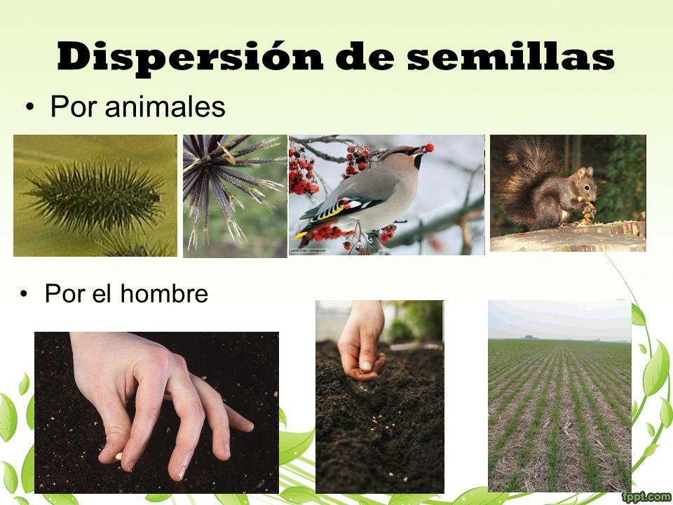 Dispersión de semillas Por animales Por el hombre