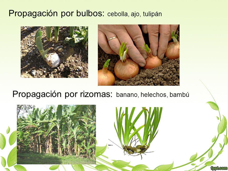 Propagación por bulbos: cebolla, ajo, tulipán Propagación por rizomas: banano, helechos, bambú