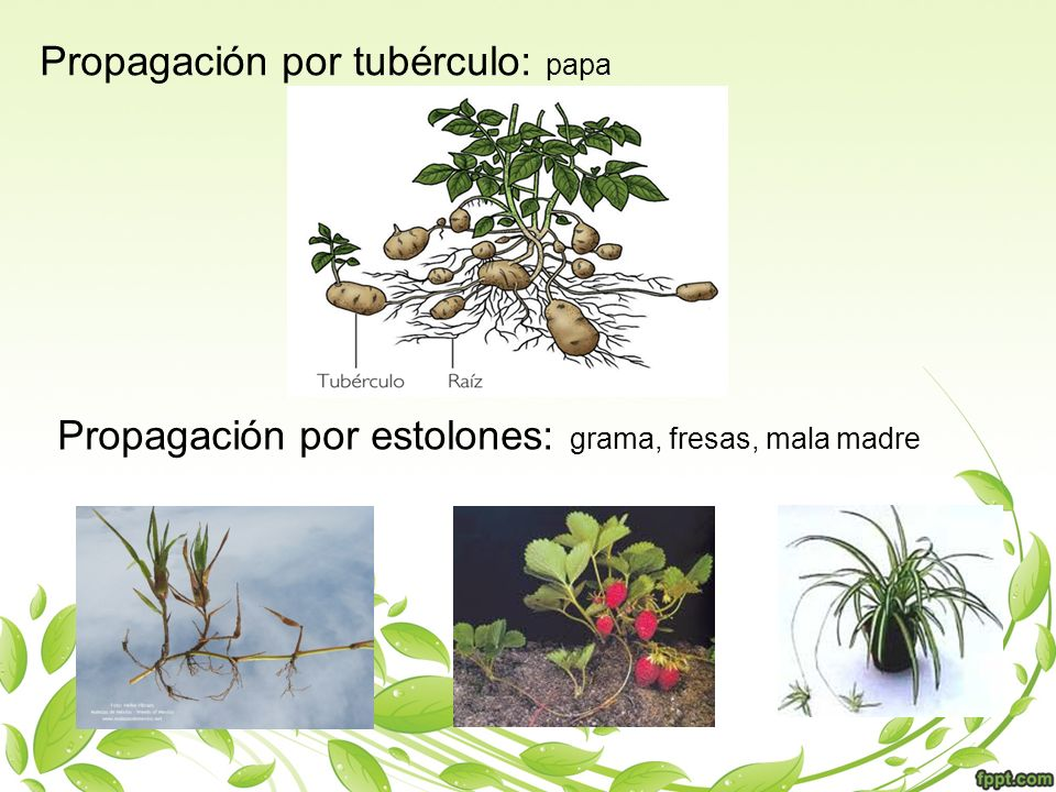 Propagación por tubérculo: papa Propagación por estolones: grama, fresas, mala madre