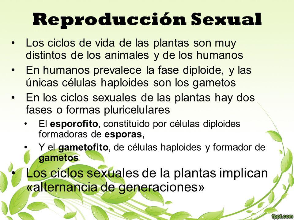 Reproducción Sexual Los ciclos de vida de las plantas son muy distintos de los animales y de los humanos En humanos prevalece la fase diploide, y las