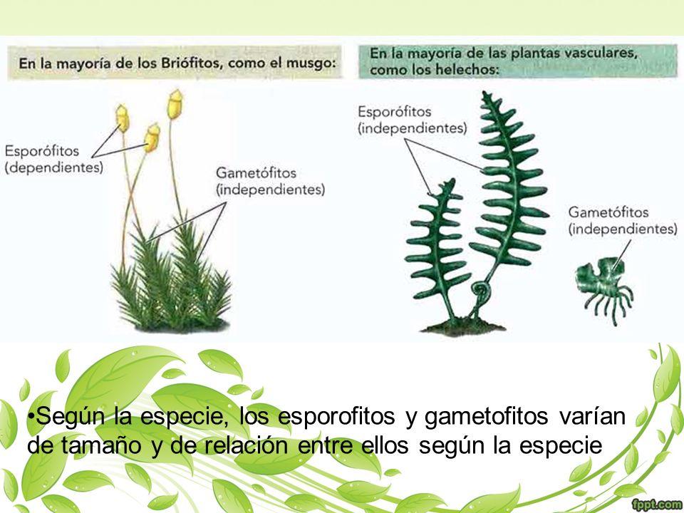 Según la especie, los esporofitos y gametofitos varían de tamaño y de relación entre ellos según la especie