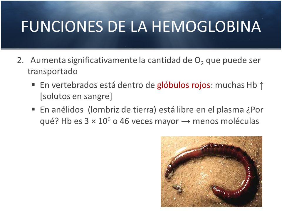 FUNCIONES DE LA HEMOGLOBINA 2. Aumenta significativamente la cantidad de O 2 que puede ser transportado En vertebrados está dentro de glóbulos rojos: