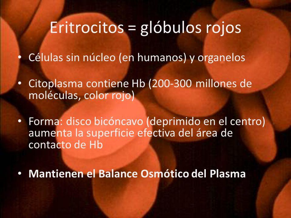 Células sin núcleo (en humanos) y organelos Citoplasma contiene Hb (200-300 millones de moléculas, color rojo) Forma: disco bicóncavo (deprimido en el