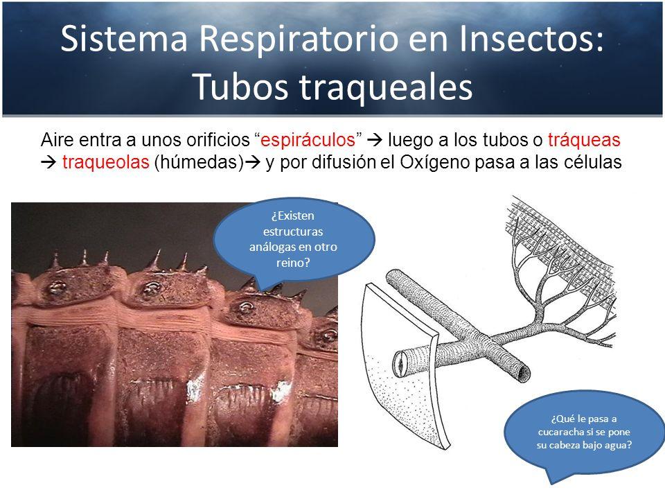 Sistema Respiratorio en Insectos: Tubos traqueales Aire entra a unos orificios espiráculos luego a los tubos o tráqueas traqueolas (húmedas) y por dif