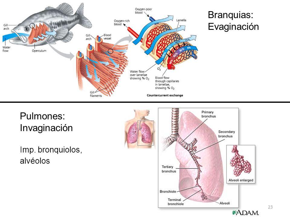 23 Branquias: Evaginación Pulmones: Invaginación Imp. bronquiolos, alvéolos