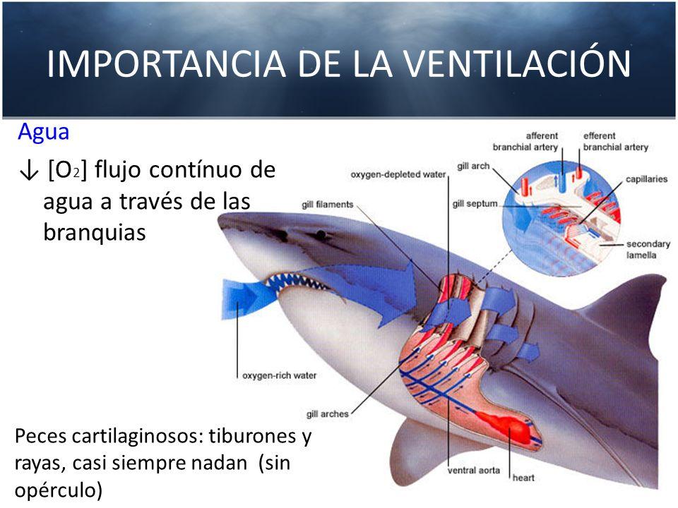 IMPORTANCIA DE LA VENTILACIÓN Peces cartilaginosos: tiburones y rayas, casi siempre nadan (sin opérculo) Agua [O 2 ] flujo contínuo de agua a través d