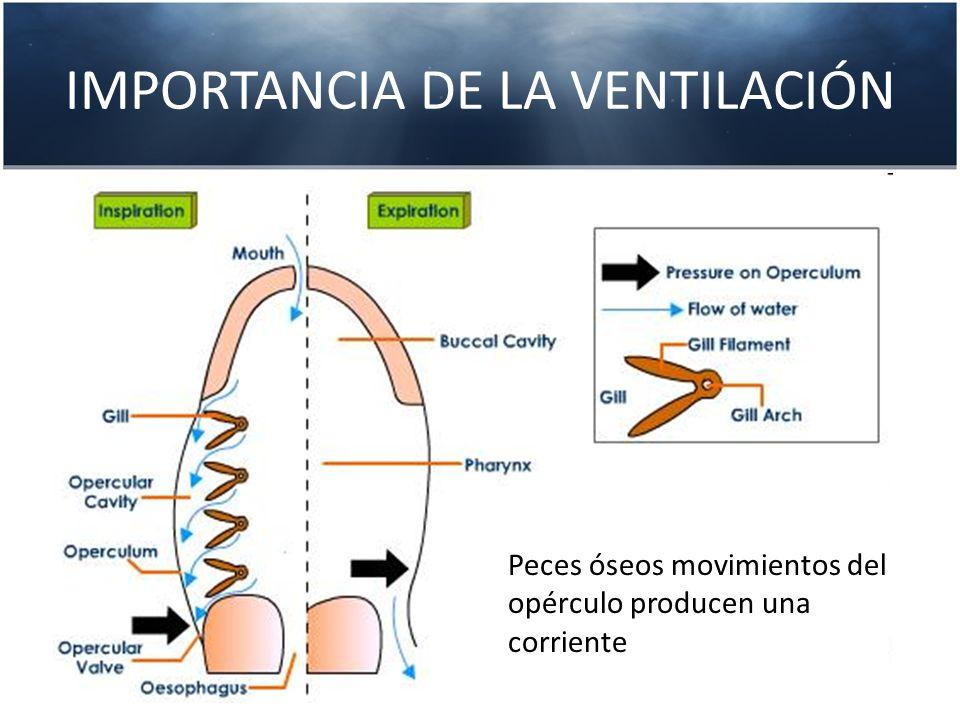 IMPORTANCIA DE LA VENTILACIÓN Peces óseos movimientos del opérculo producen una corriente