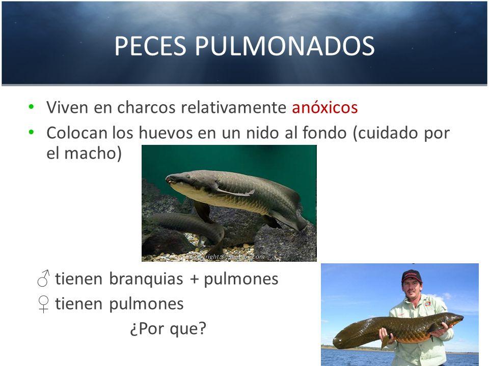 PECES PULMONADOS Viven en charcos relativamente anóxicos Colocan los huevos en un nido al fondo (cuidado por el macho) tienen branquias + pulmones tie