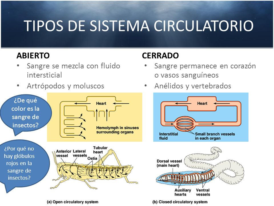 TIPOS DE SISTEMA CIRCULATORIO ABIERTO Sangre se mezcla con fluido intersticial Artrópodos y moluscos CERRADO Sangre permanece en corazón o vasos sangu