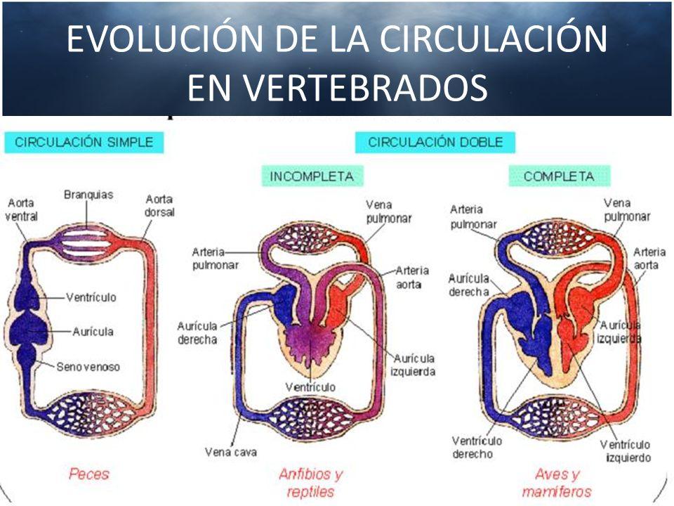 SISTEMA CARDIOVASCULAR CORAZÓN Bomba doble que impulsa sangre a través de dos circuitos ARTERIAS Distribuyen sangre oxigenada a todo el cuerpo ARTERIOLAS Ramificaciones de las arterias