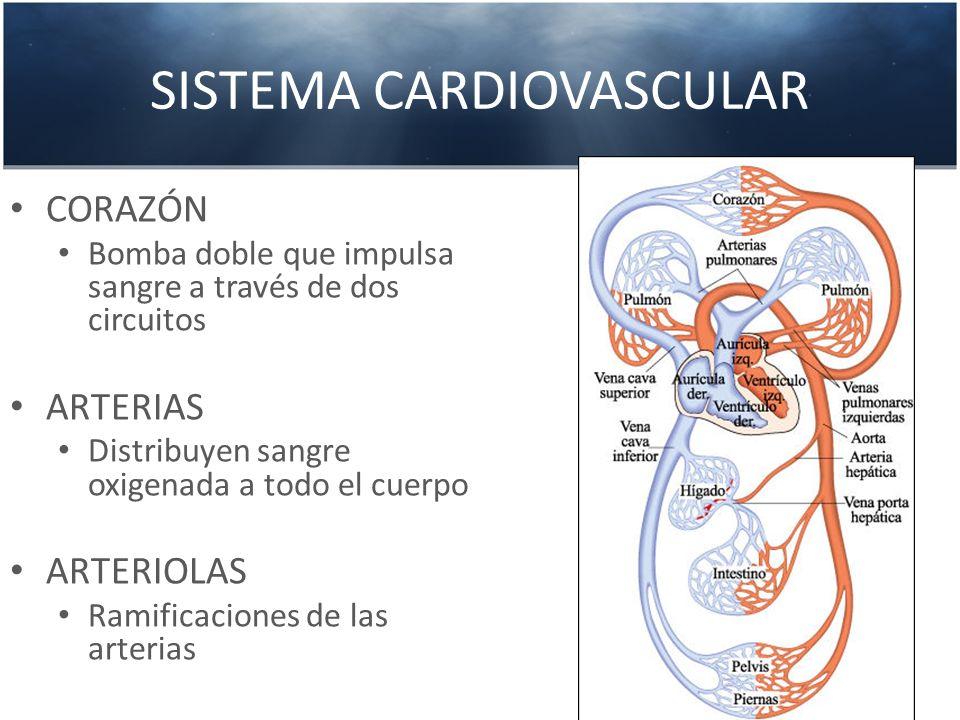 SISTEMA CARDIOVASCULAR CAPILARES Donde se unen las arteriolas con las vénulas (intercambio gaseoso tisular) VÉNULAS Ramificaciones de las venas VENAS Retornan la sangre al corazón