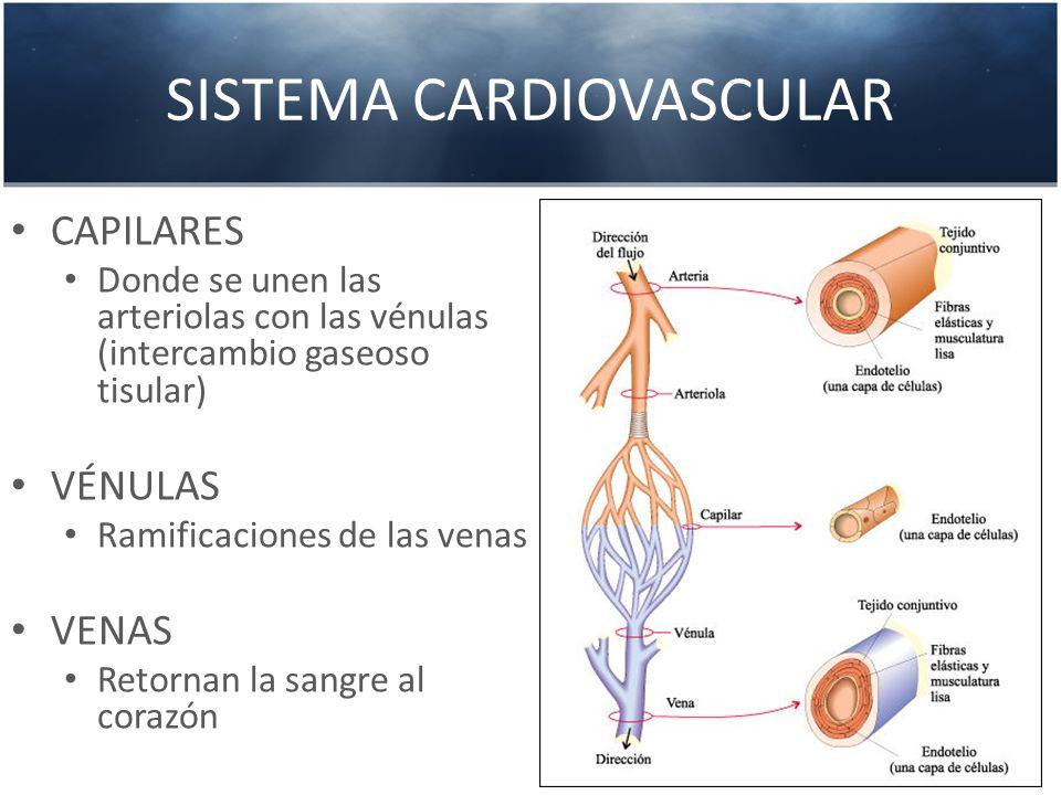 SISTEMA CARDIOVASCULAR CAPILARES Donde se unen las arteriolas con las vénulas (intercambio gaseoso tisular) VÉNULAS Ramificaciones de las venas VENAS