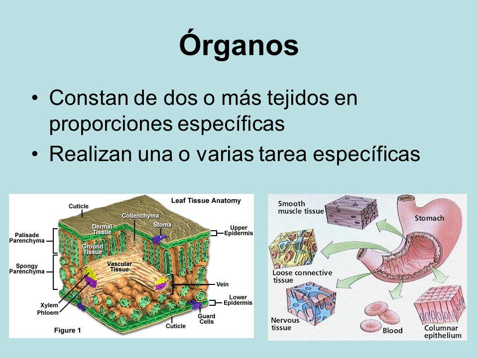 Órganos Constan de dos o más tejidos en proporciones específicas Realizan una o varias tarea específicas