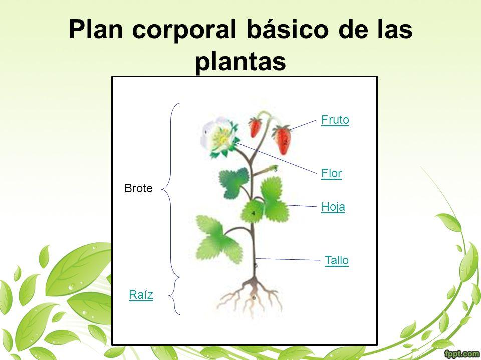 Plan corporal básico de las plantas Flor Fruto Tallo Hoja Raíz Brote