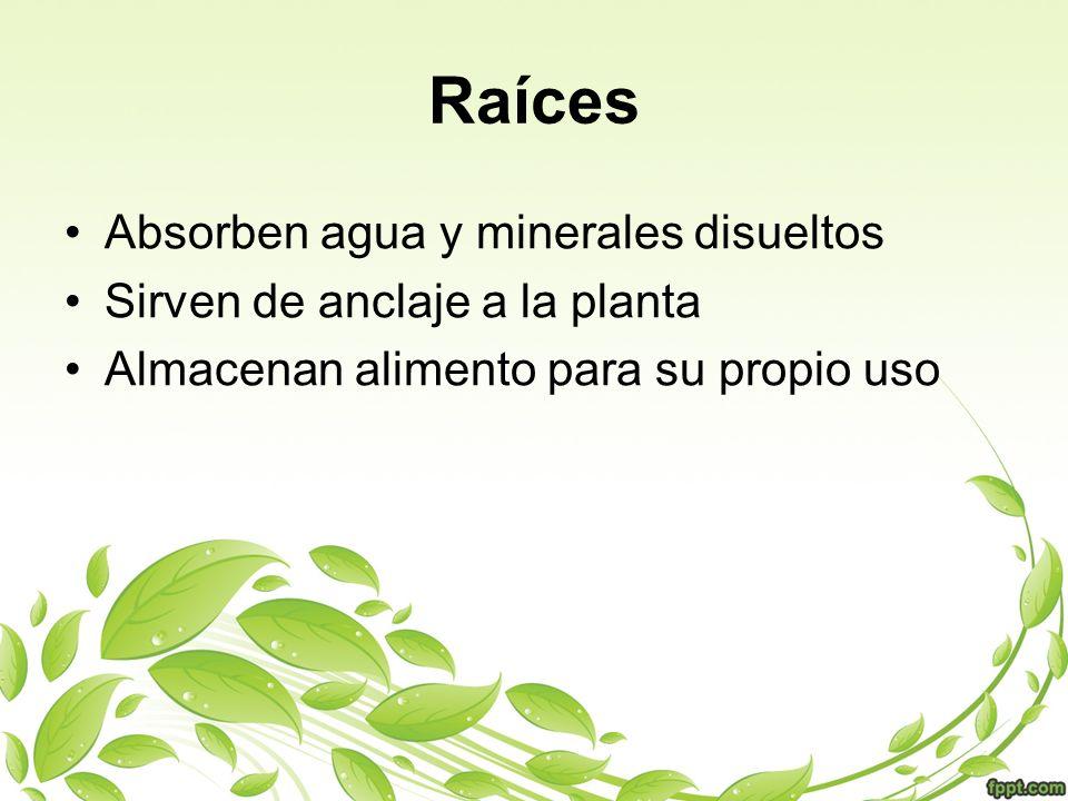 Raíces Absorben agua y minerales disueltos Sirven de anclaje a la planta Almacenan alimento para su propio uso