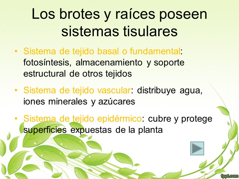 Los brotes y raíces poseen sistemas tisulares Sistema de tejido basal o fundamental: fotosíntesis, almacenamiento y soporte estructural de otros tejid