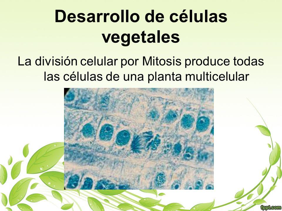 Meristemos Regiones de células indiferenciadas (totipotenciales) pueden dividirse rápida e indefinidamente