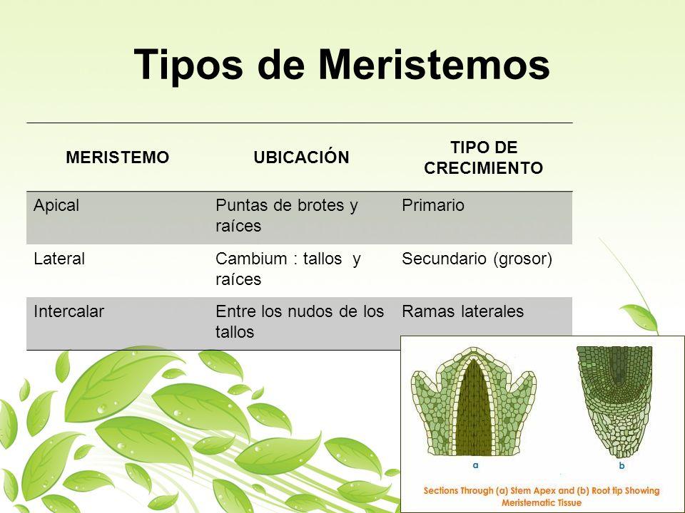 Tipos de Meristemos MERISTEMO UBICACIÓN TIPO DE CRECIMIENTO ApicalPuntas de brotes y raíces Primario LateralCambium : tallos y raíces Secundario (gros
