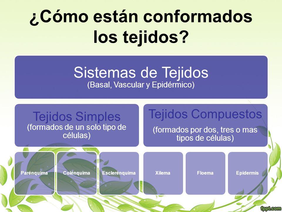 ¿Cómo están conformados los tejidos? Sistemas de Tejidos (Basal, Vascular y Epidérmico) Tejidos Simples (formados de un solo tipo de células) Parénqui