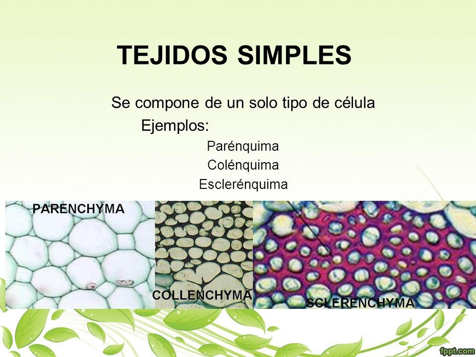 TEJIDOS SIMPLES Se compone de un solo tipo de célula Ejemplos: Parénquima Colénquima Esclerénquima