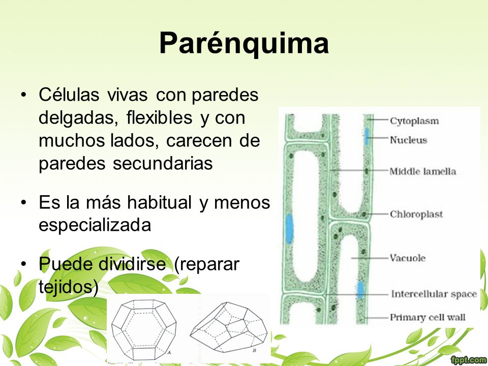 Parénquima Células vivas con paredes delgadas, flexibles y con muchos lados, carecen de paredes secundarias Es la más habitual y menos especializada P