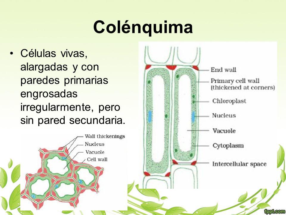 Colénquima Células vivas, alargadas y con paredes primarias engrosadas irregularmente, pero sin pared secundaria.