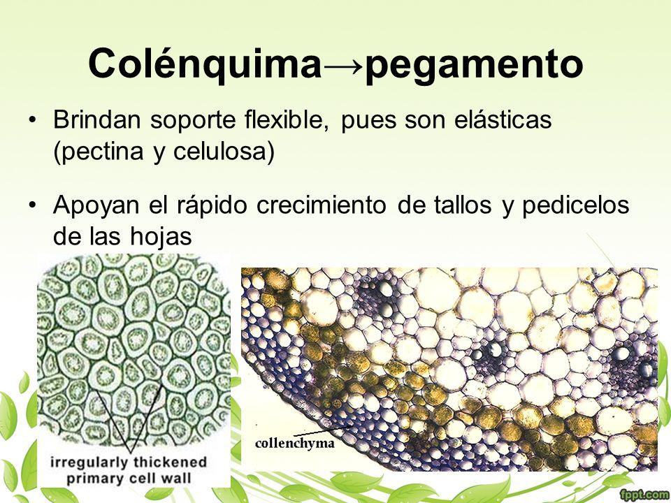 Colénquimapegamento Brindan soporte flexible, pues son elásticas (pectina y celulosa) Apoyan el rápido crecimiento de tallos y pedicelos de las hojas
