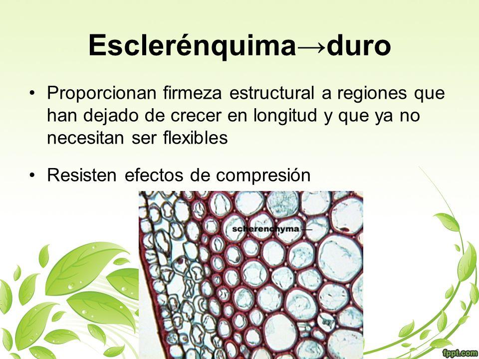 Tipos de células de esclerénquima FIBRAS Células alargadas Apoyan tejidos vasculares Permite que los tallos se muevan con el viento sin romperlos Utilizadas para elaborar papel, ropa, cuerdas.