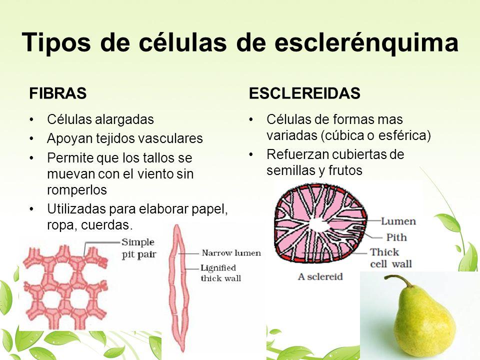 Tipos de células de esclerénquima FIBRAS Células alargadas Apoyan tejidos vasculares Permite que los tallos se muevan con el viento sin romperlos Util