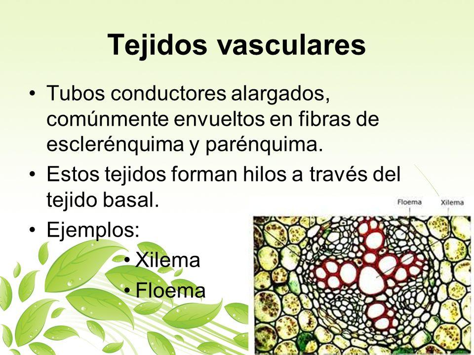 Tejidos vasculares Tubos conductores alargados, comúnmente envueltos en fibras de esclerénquima y parénquima. Estos tejidos forman hilos a través del