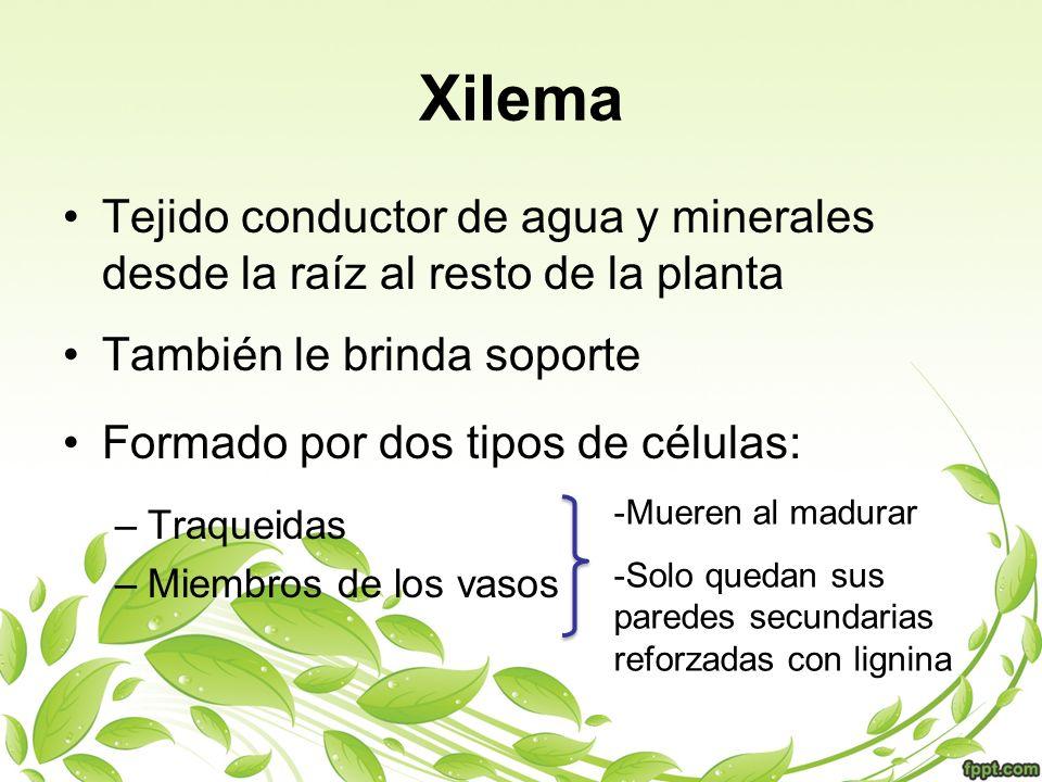 Xilema Tejido conductor de agua y minerales desde la raíz al resto de la planta También le brinda soporte Formado por dos tipos de células: –Traqueida