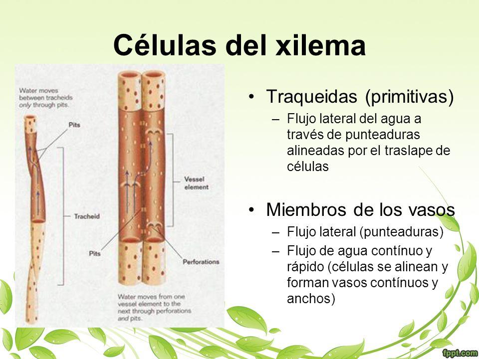 Células del xilema Traqueidas (primitivas) –Flujo lateral del agua a través de punteaduras alineadas por el traslape de células Miembros de los vasos