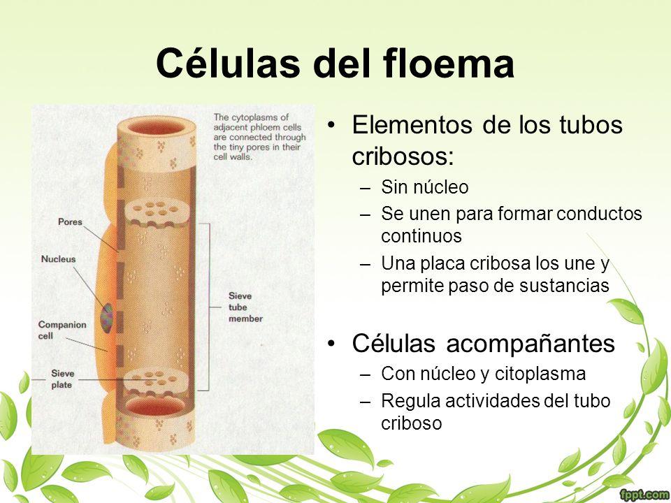 Células del floema Elementos de los tubos cribosos: –Sin núcleo –Se unen para formar conductos continuos –Una placa cribosa los une y permite paso de