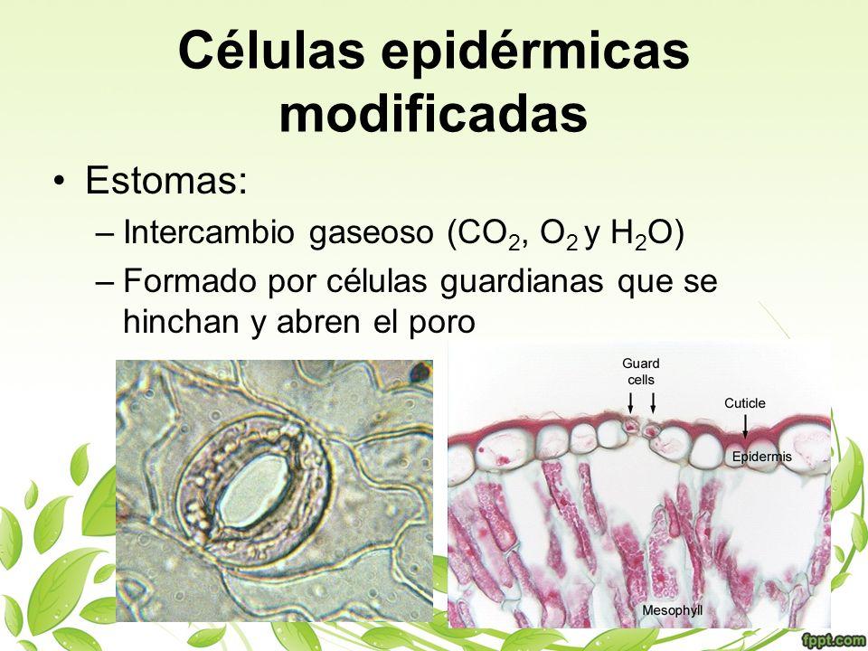 Células epidérmicas modificadas Estomas: –Intercambio gaseoso (CO 2, O 2 y H 2 O) –Formado por células guardianas que se hinchan y abren el poro