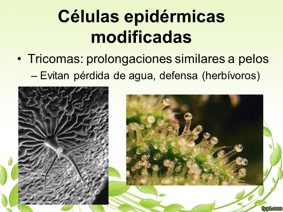 Células epidérmicas modificadas Tricomas: prolongaciones similares a pelos –Evitan pérdida de agua, defensa (herbívoros)