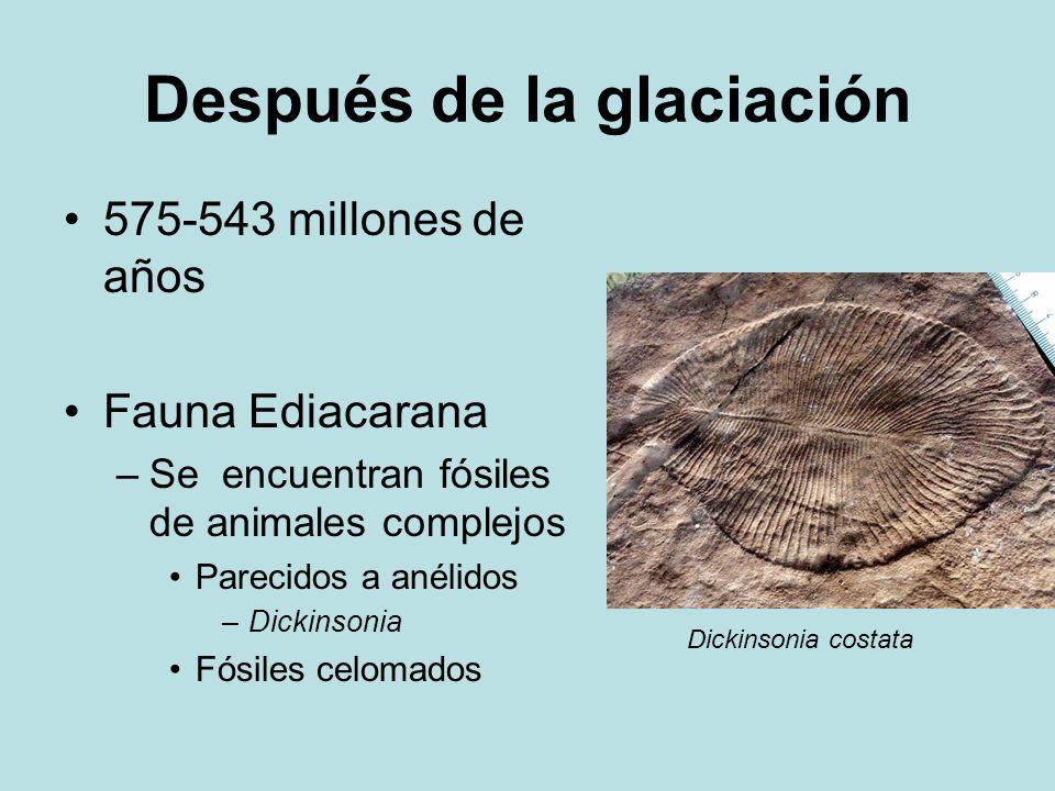 Después de la glaciación 575-543 millones de años Fauna Ediacarana –Se encuentran fósiles de animales complejos Parecidos a anélidos –Dickinsonia Fósi