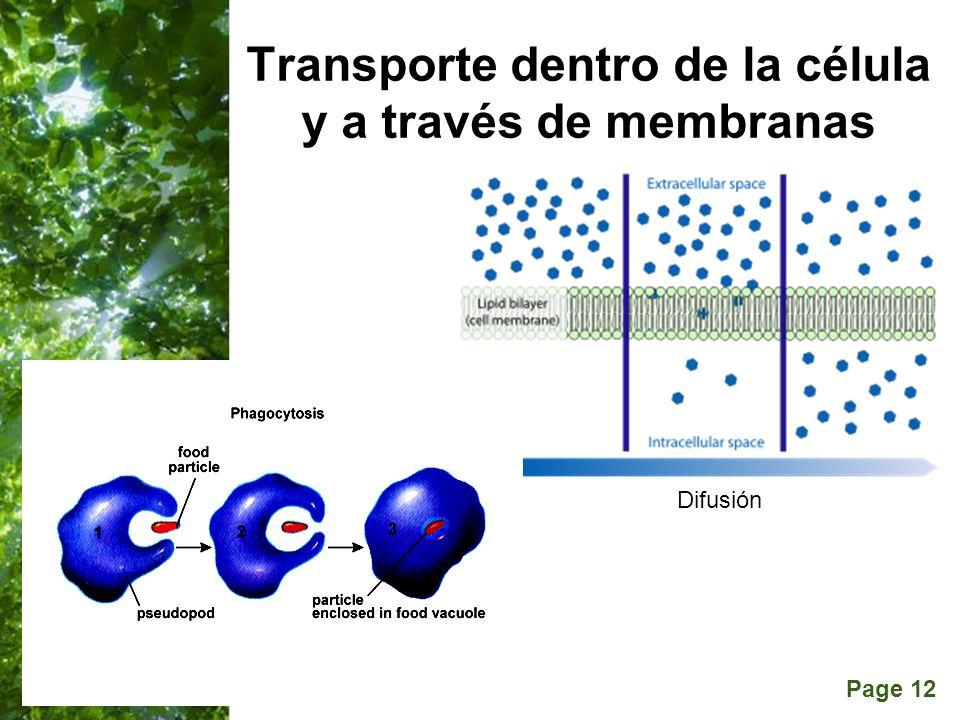 Page 12 Transporte dentro de la célula y a través de membranas Difusión