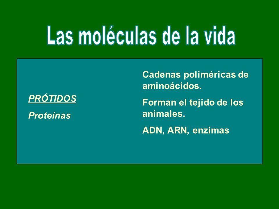 PRÓTIDOS Proteínas Cadenas poliméricas de aminoácidos. Forman el tejido de los animales. ADN, ARN, enzimas